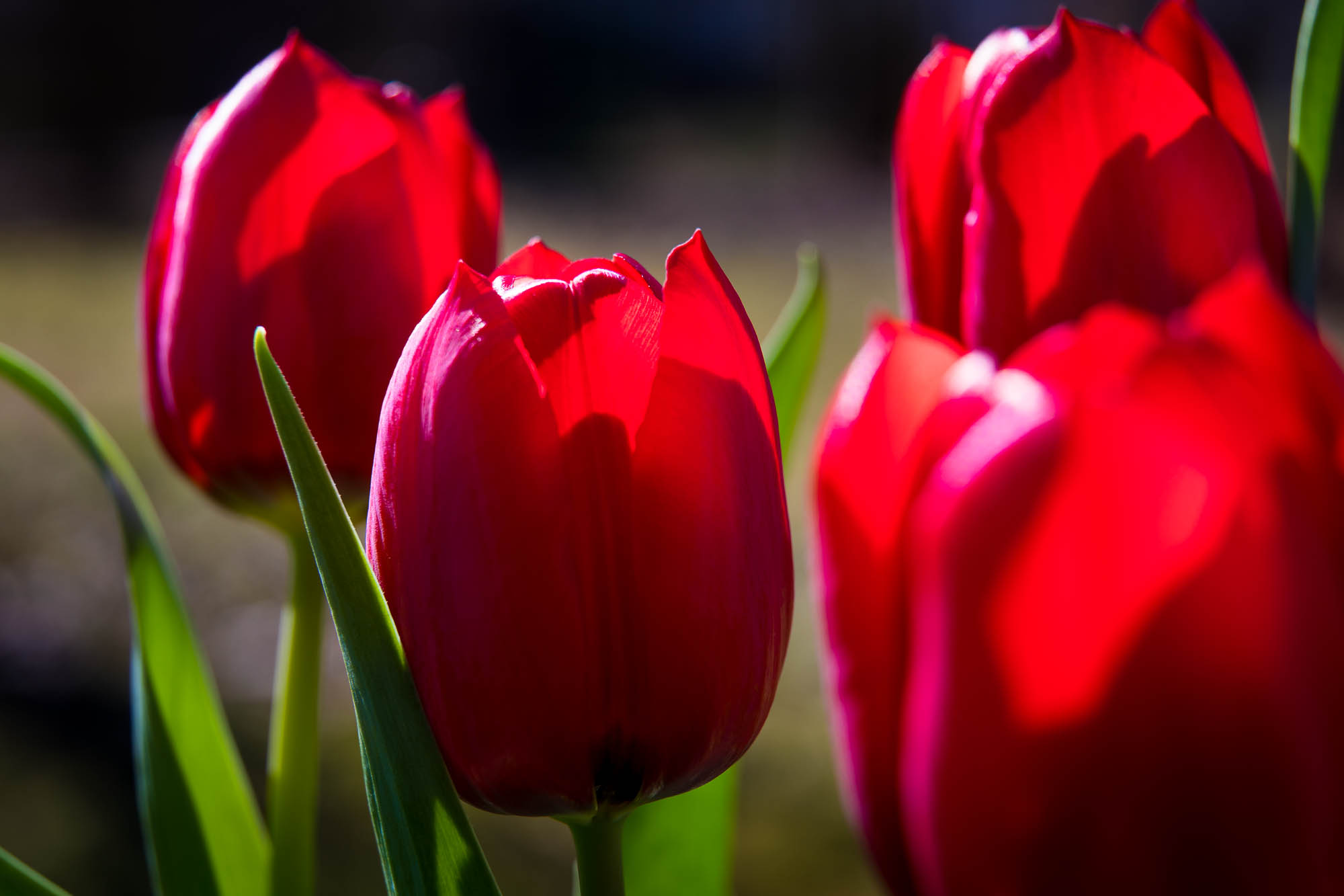 rote Tulpen | © Andreas Bender