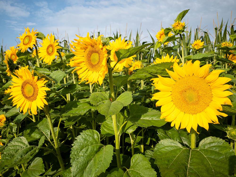 Sonnenblumen 1610   © Andreas Bender